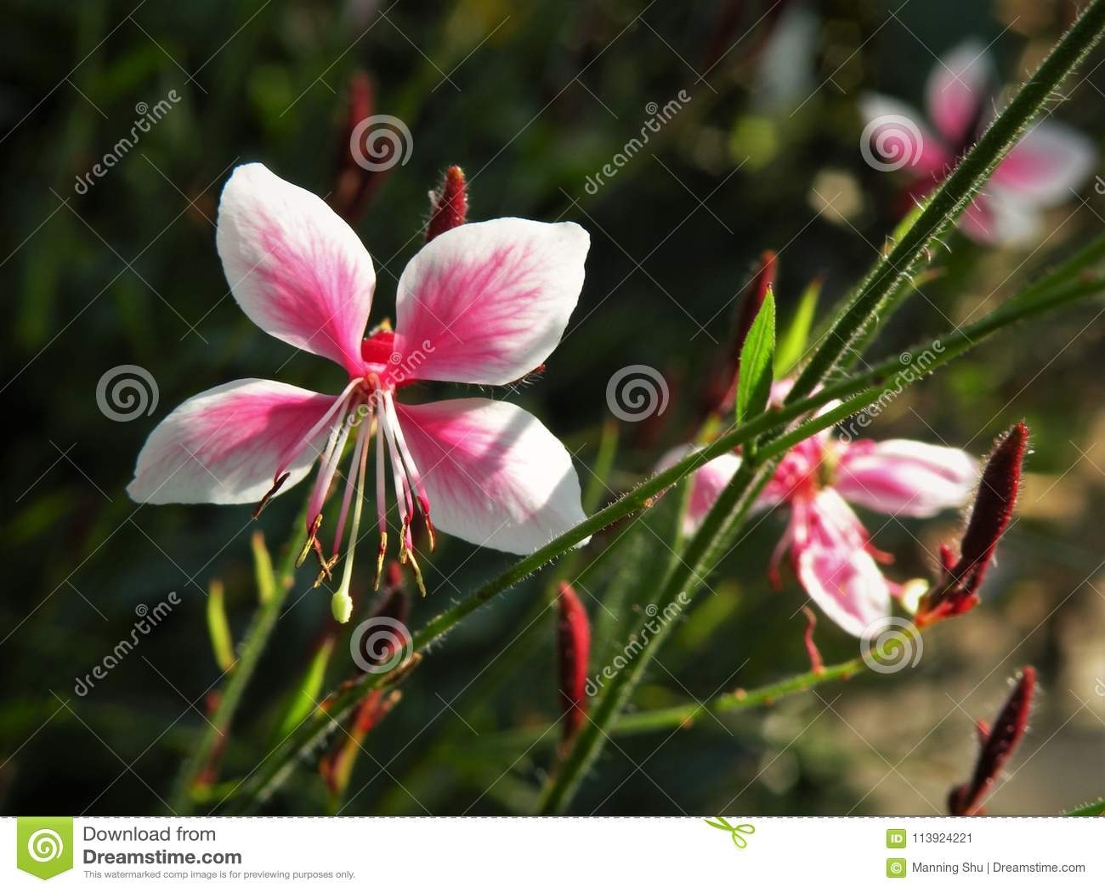 Flores girando de Gaura Lindheimeri das borboletas