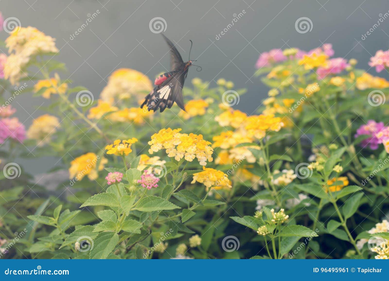 Flores Hermosas Con El Movimiento De La Mariposa Del Vuelo Rose
