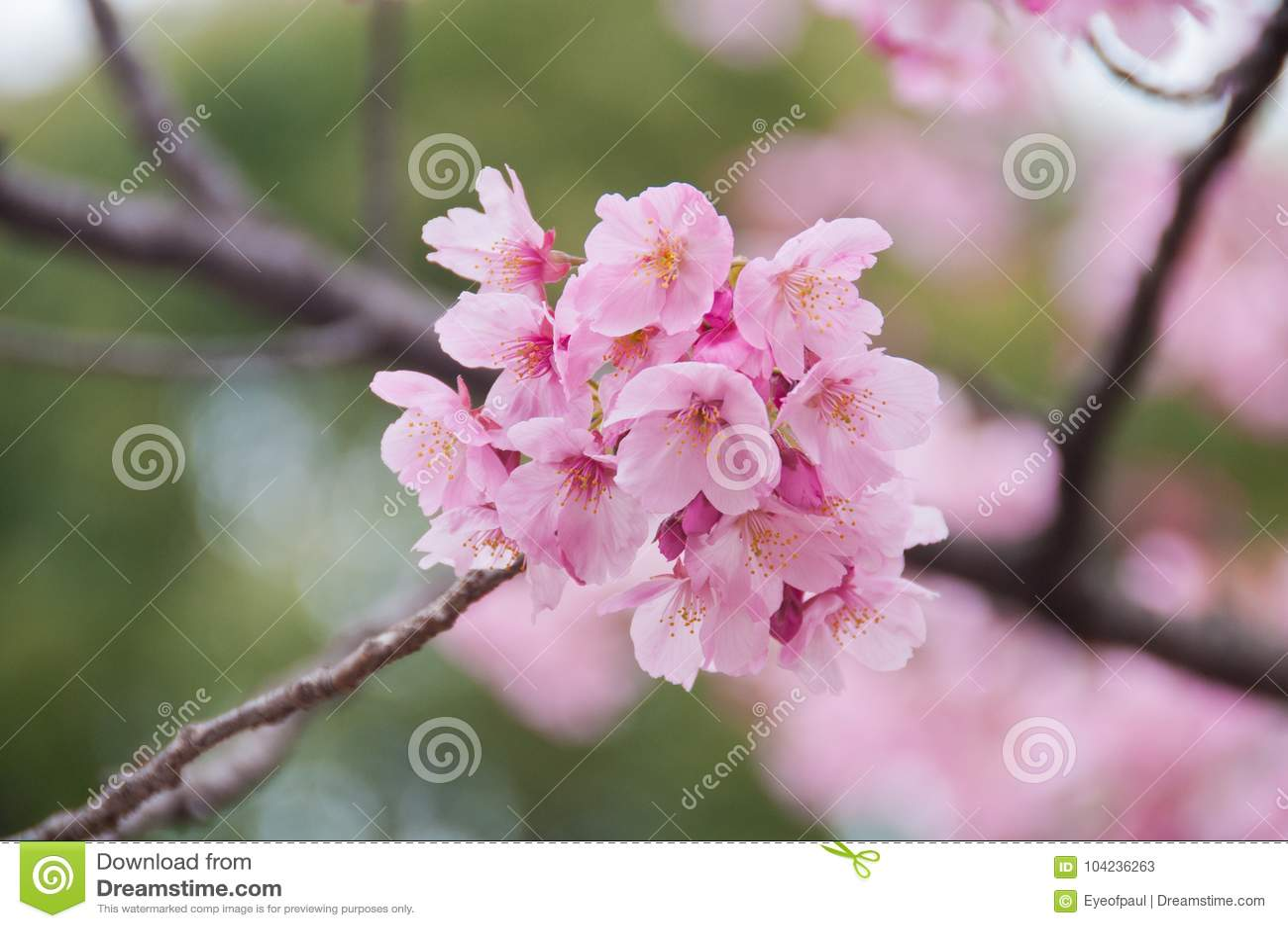 Flores Hermosas De Sakura De La Flor De Cerezo Del Rosa De La Plena