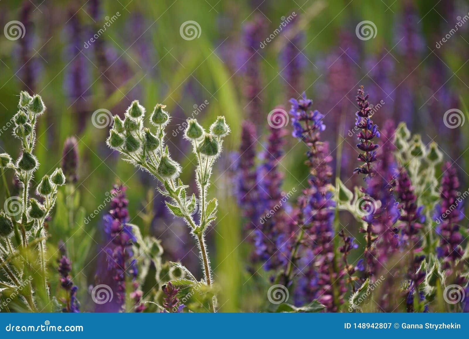 Flores hermosas del campo en el prado Sabio floreciente