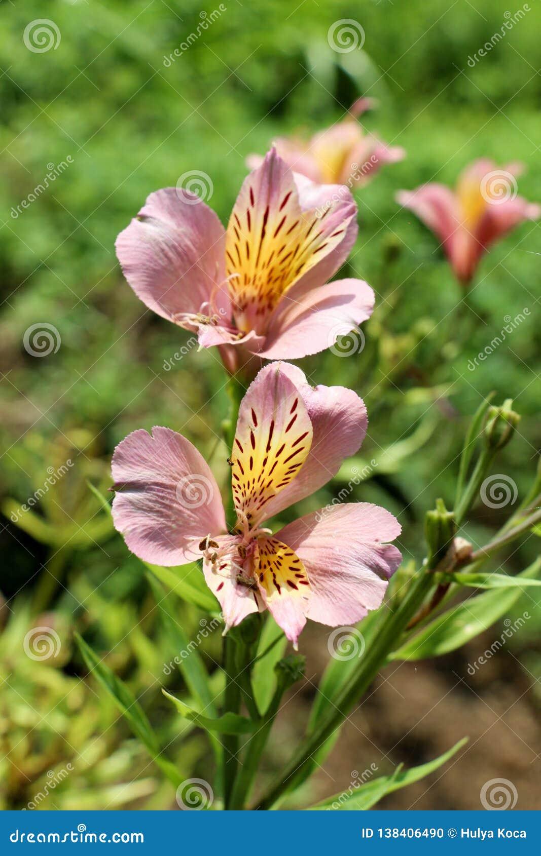 Flores hermosas del lirio en naturaleza