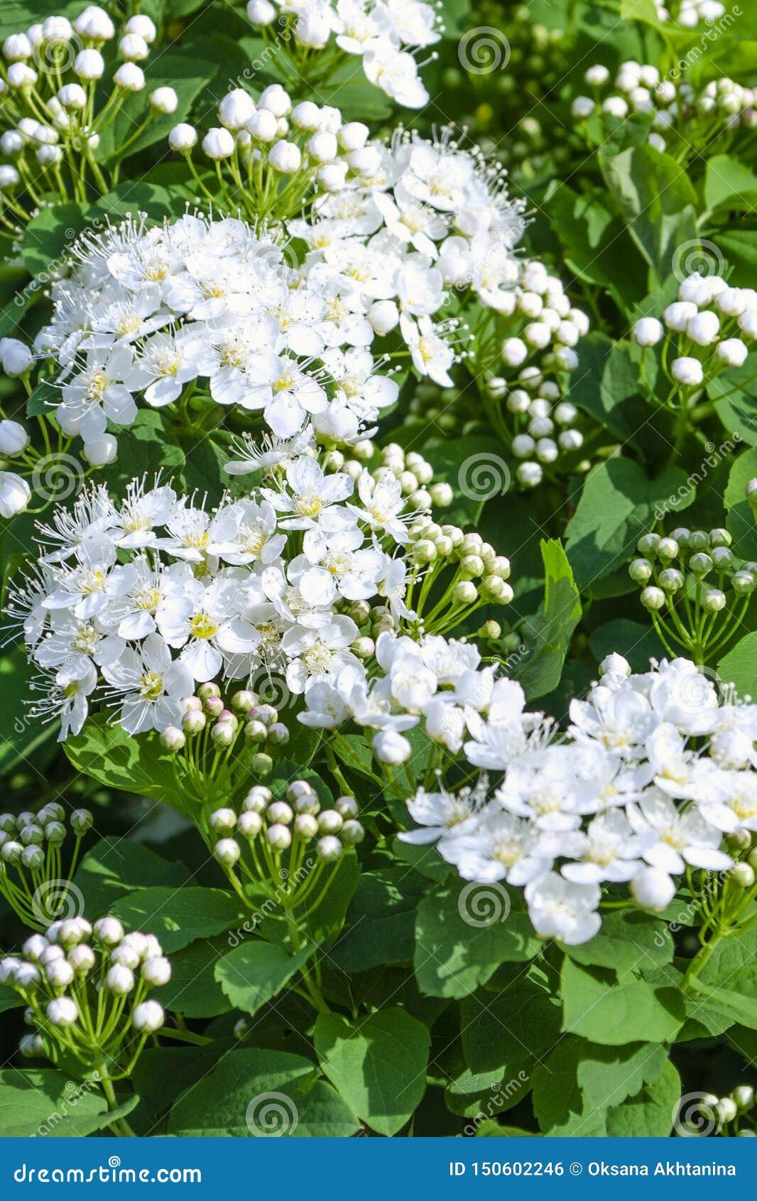 Flores hermosas y brotes del spirea que florecen en un parque o un jardín del verano
