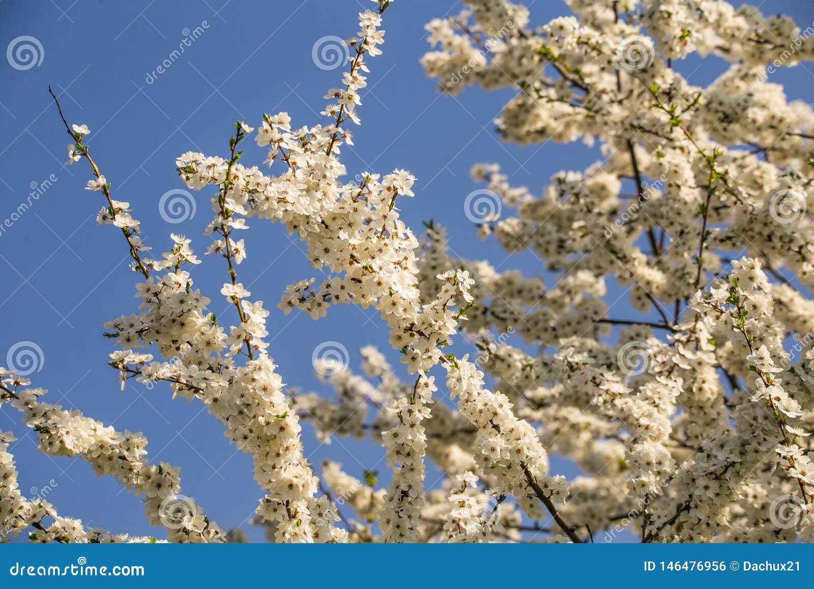 Flores hermosos, blancos del ciruelo en la primavera Árbol de ciruelo floreciente en un día soleado