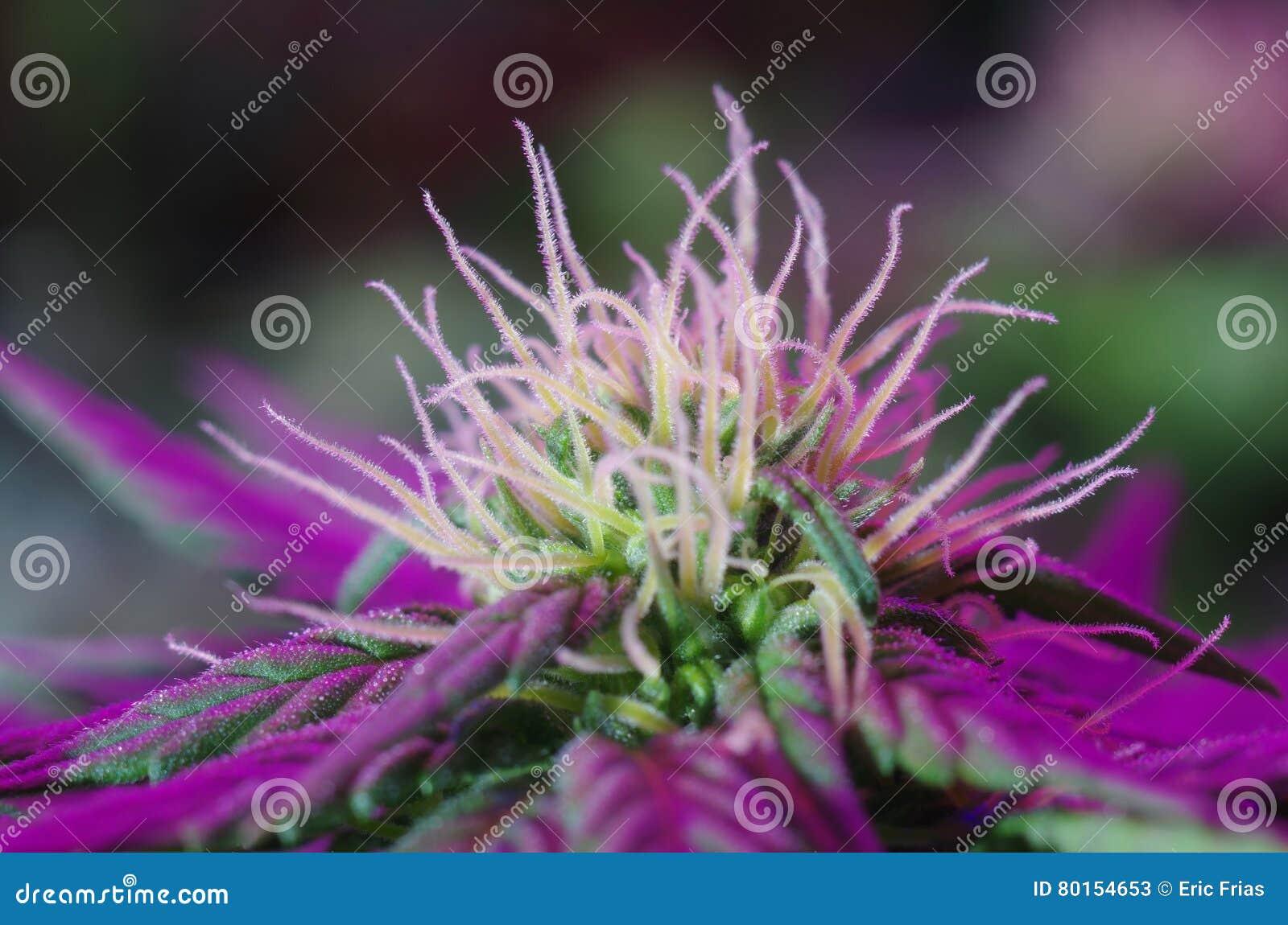 Flores Indica