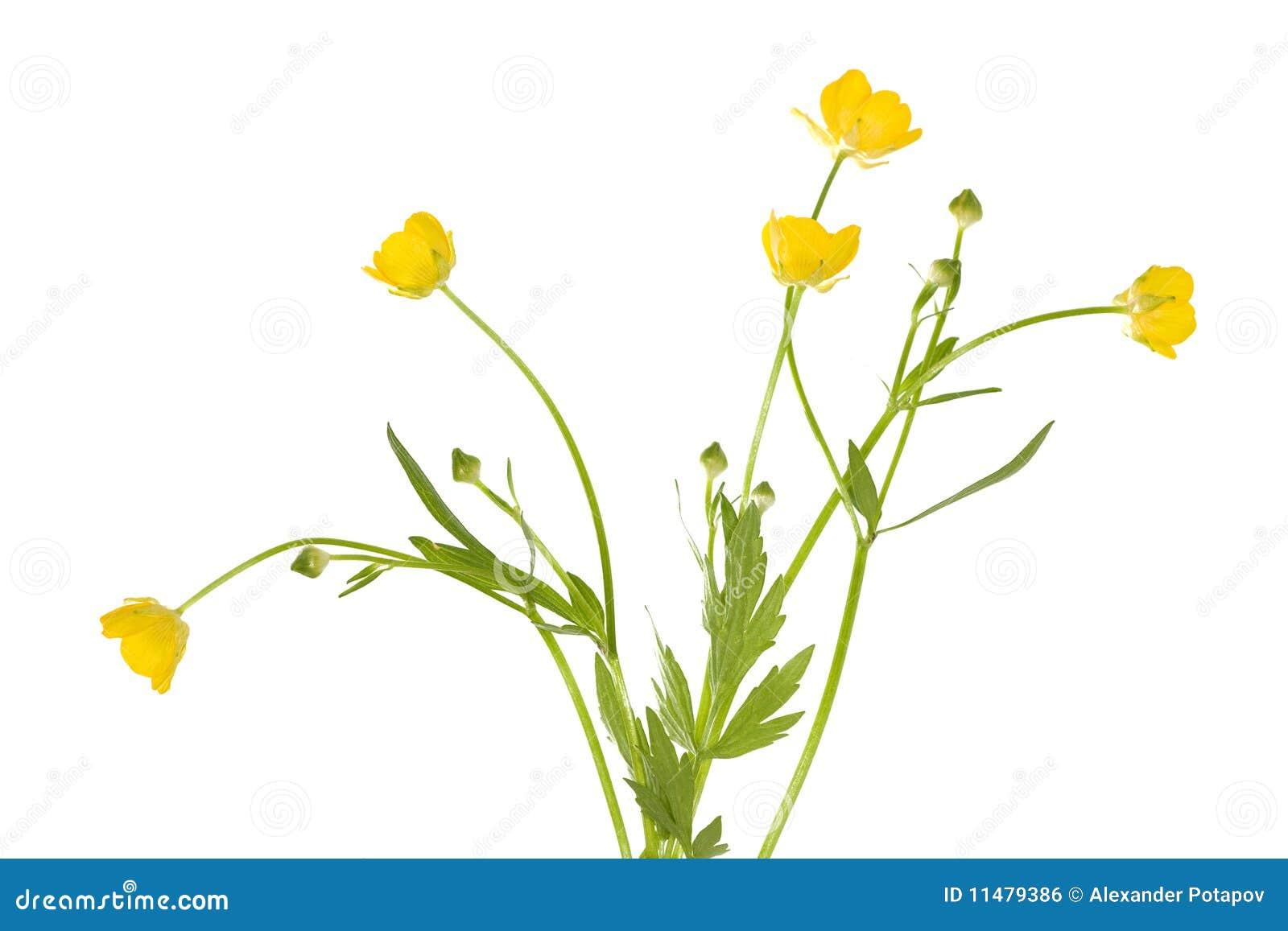 Flores isoladas do botão de ouro