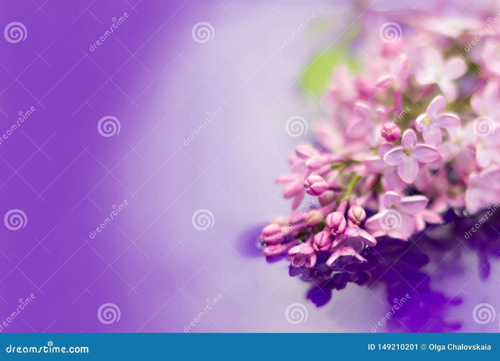 Flores lilás bonitas no jardim refletido na água Fundo roxo Copie o espa?o