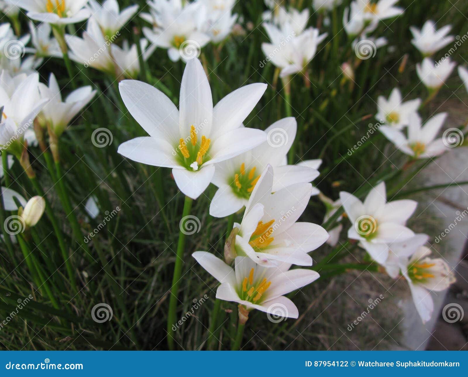 Flores lirio de la lluvia o de la candida blanco de Zephyranthes
