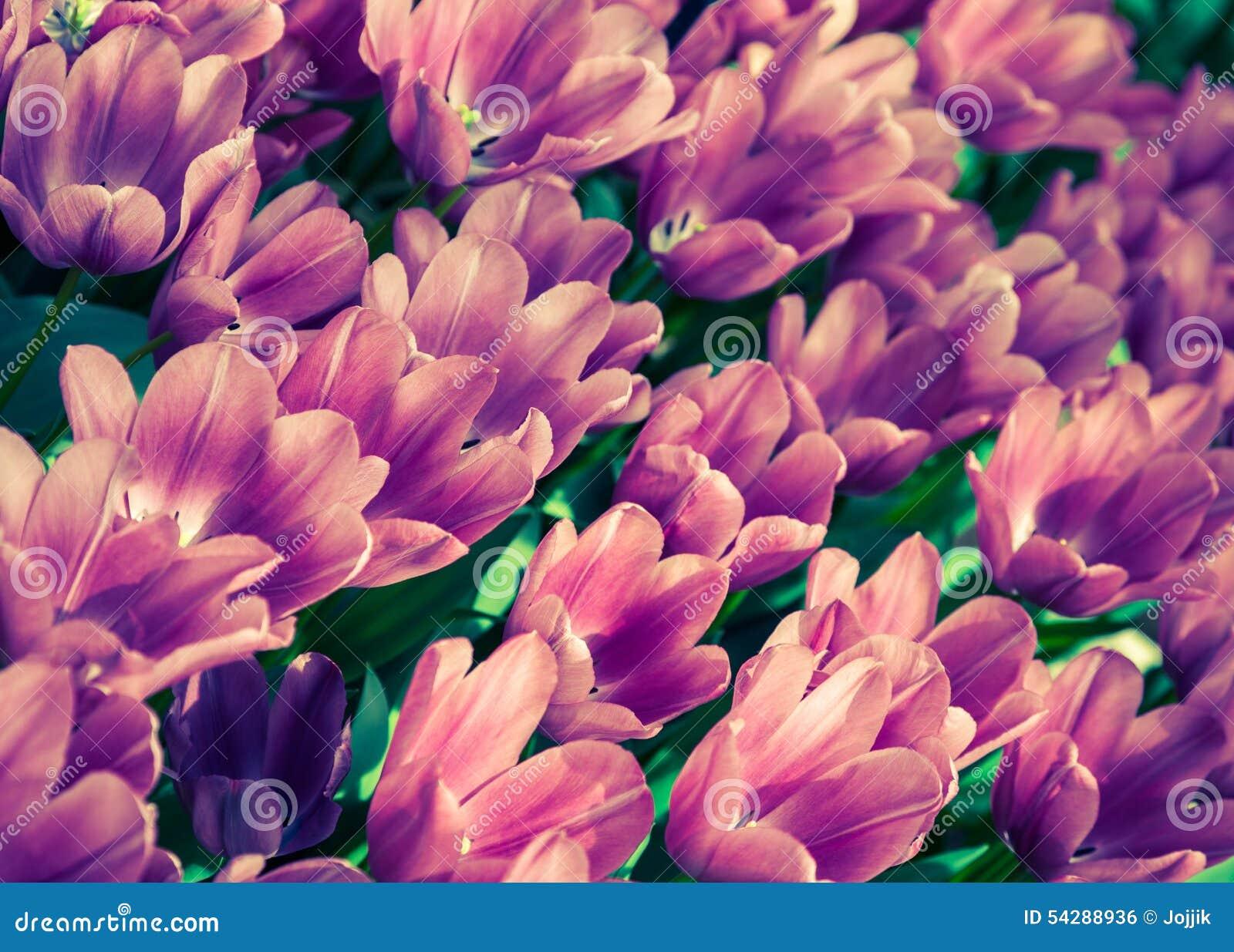 Flores Maravilhosas Da Tulipa No Parque De Keukenhof Foto de Stock ...