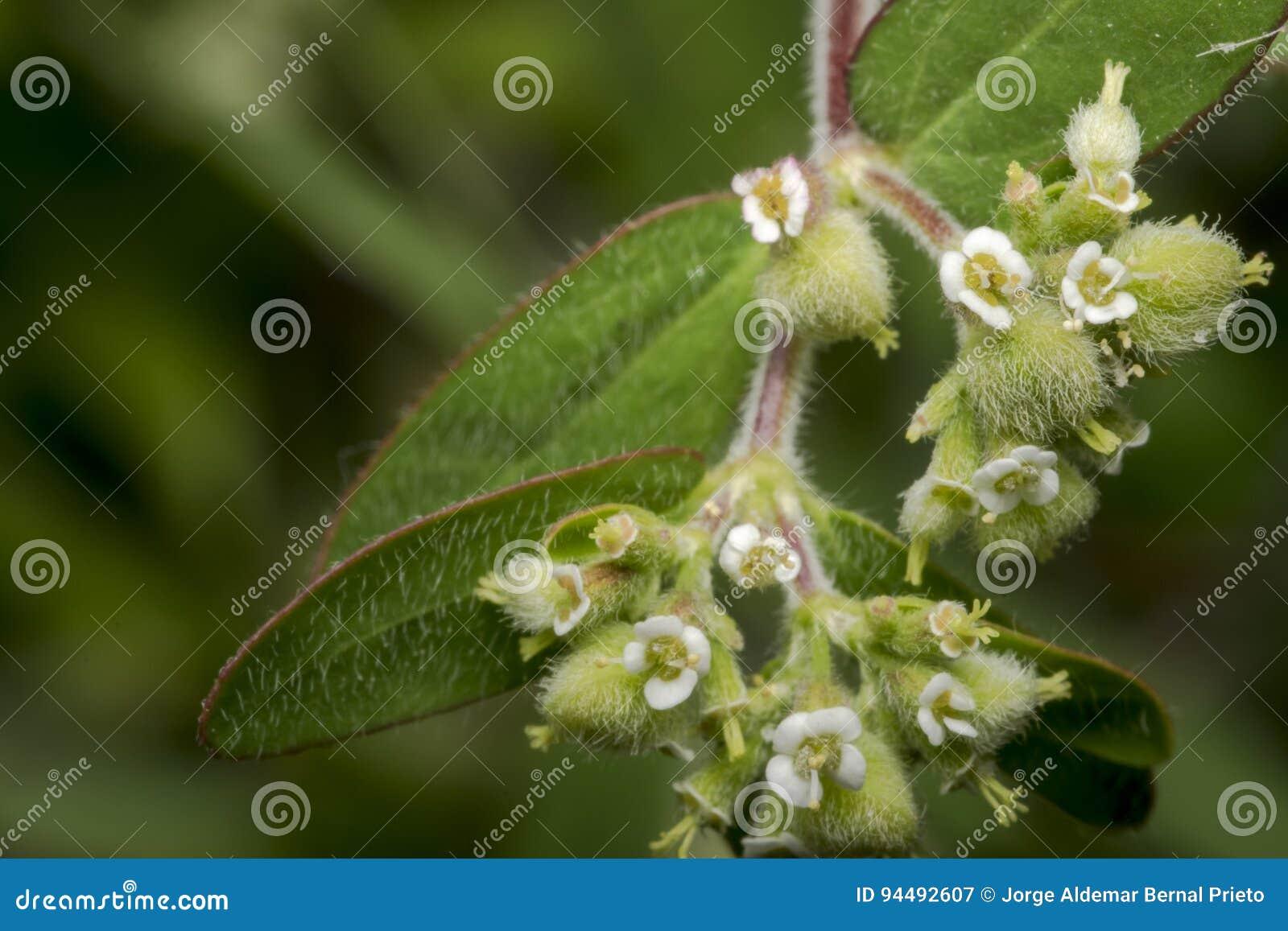 Flores minúsculas del enchanter del nightshade del circaea