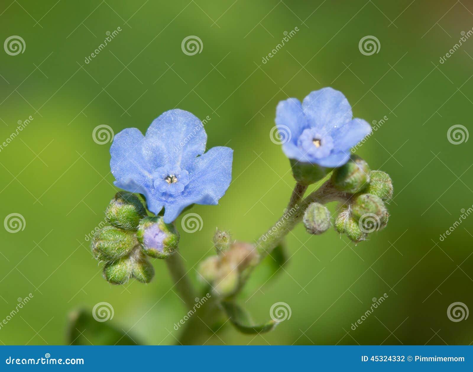 Flores minúsculas, delicadas de la nomeolvides china