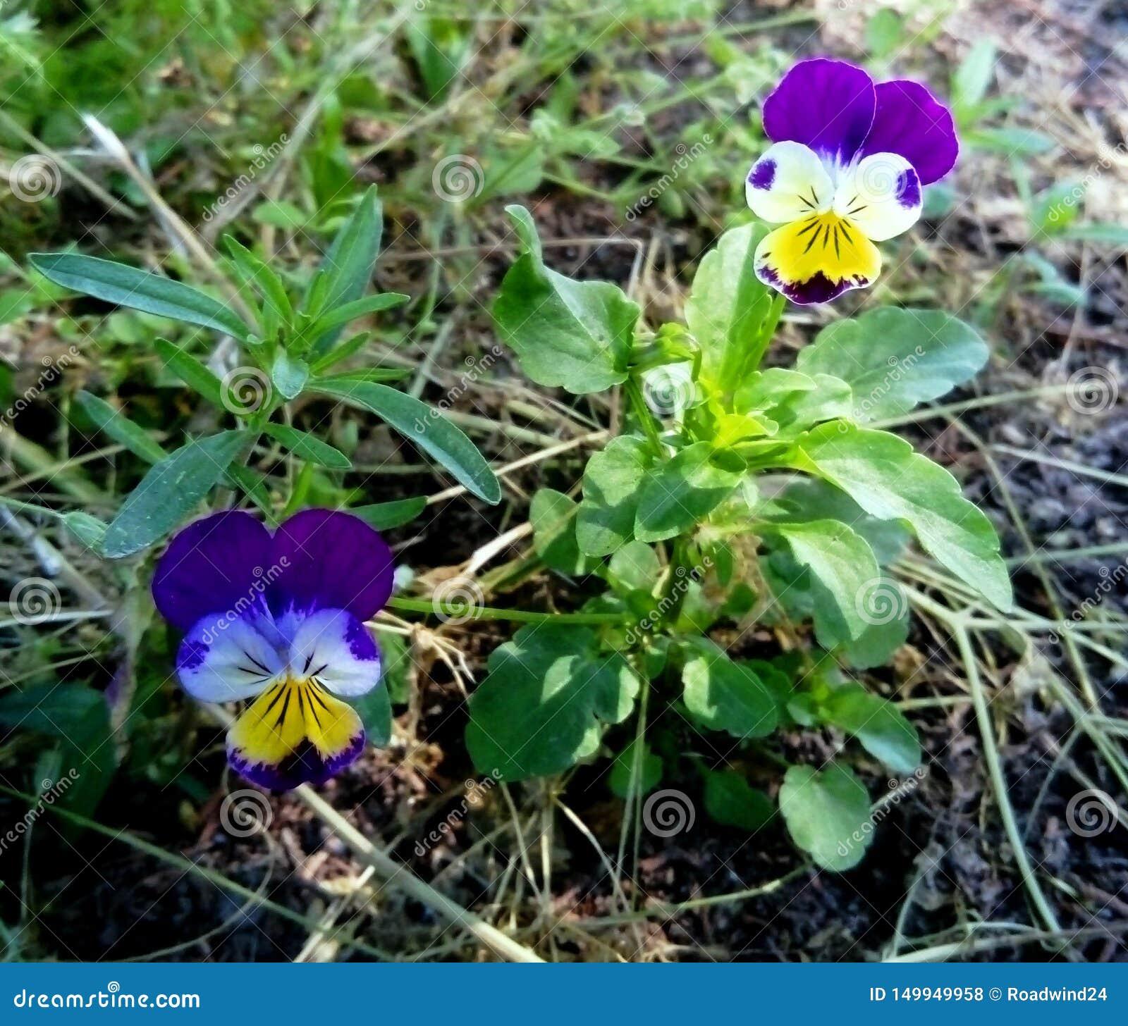 Flores minúsculas tricolor da viola