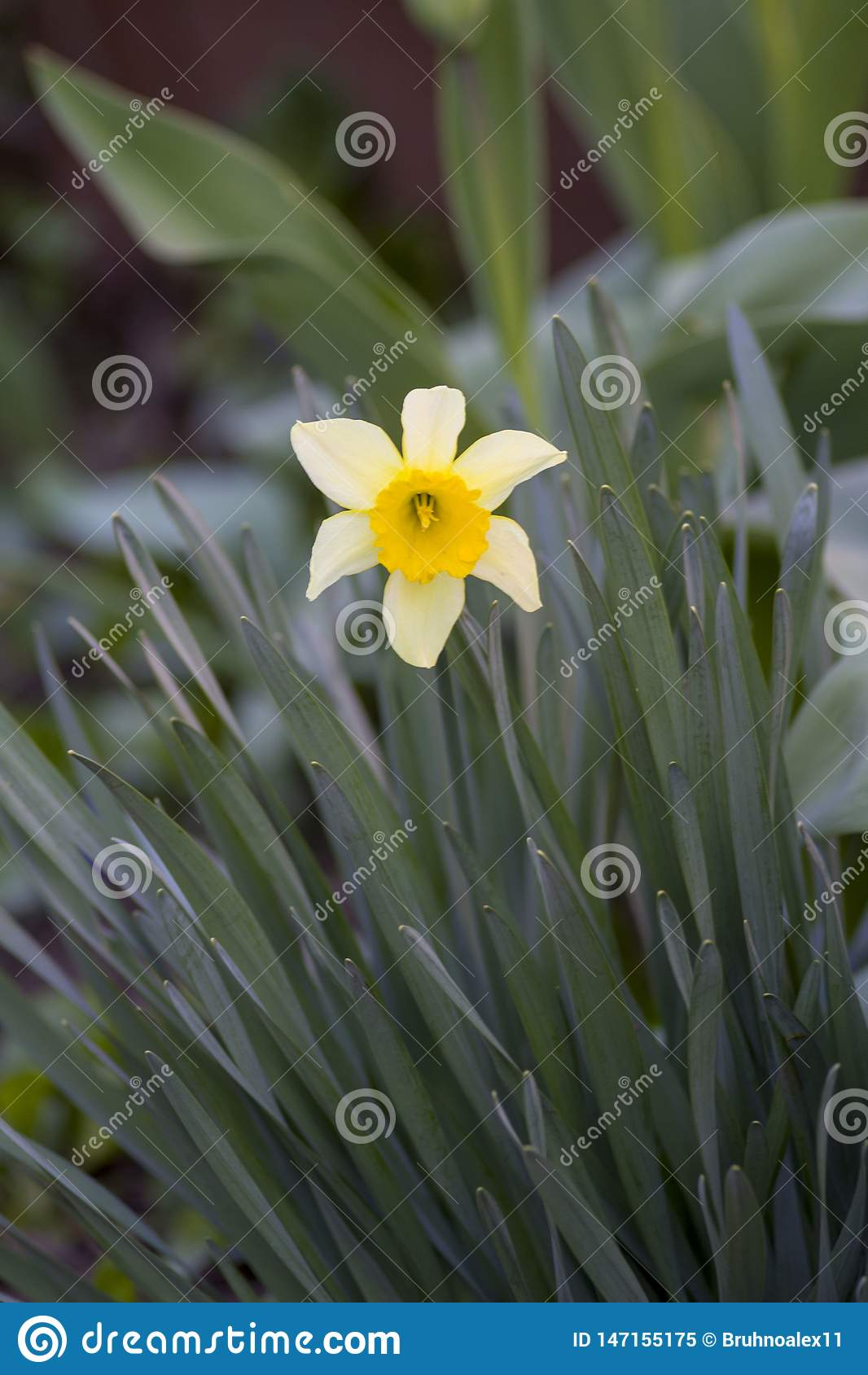 Flores no jardim Mola Flor branca Flor amarela Narciso da flor Grama Fundo verde