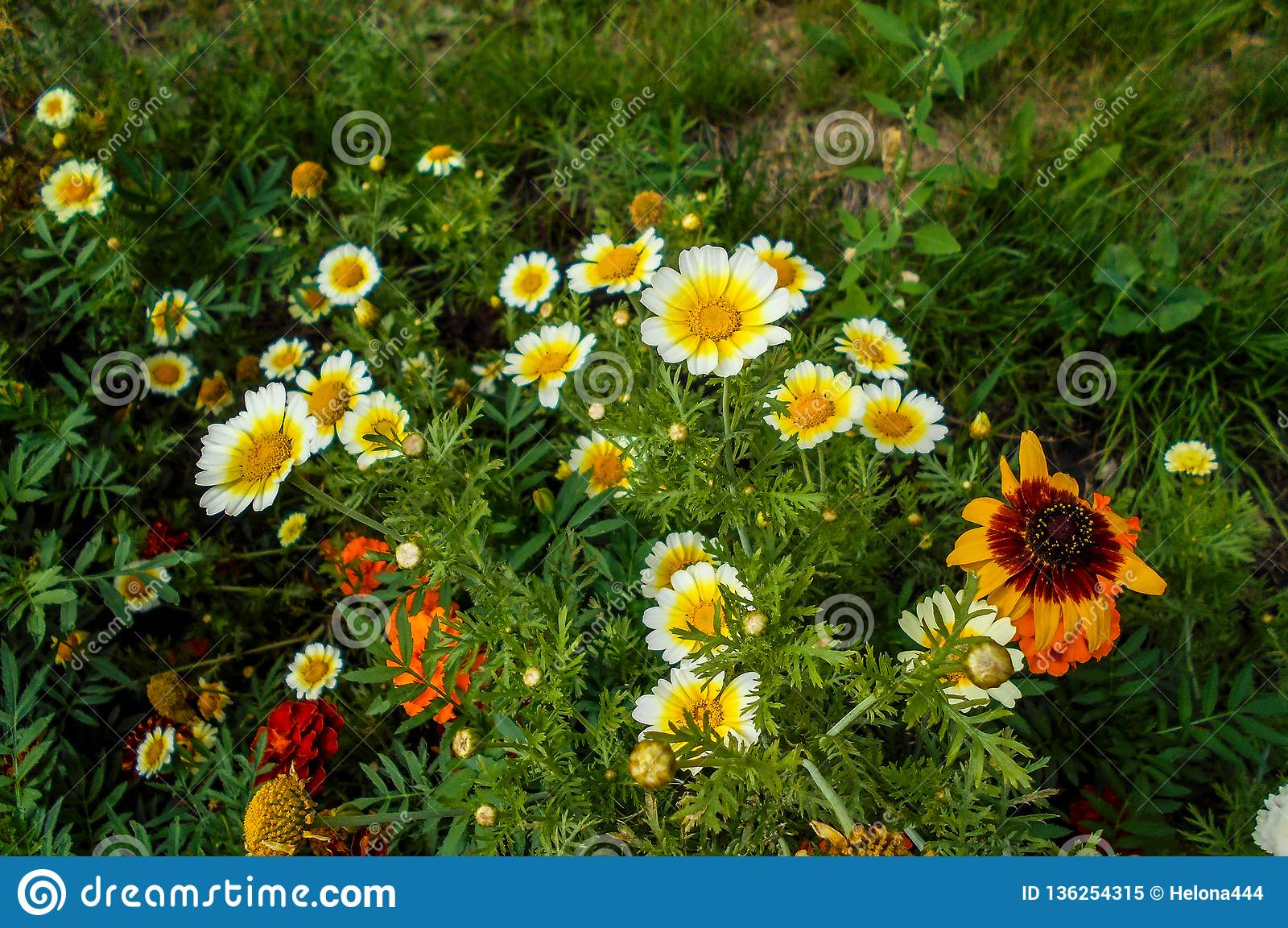 Flores no jardim Platyglossa do Layia
