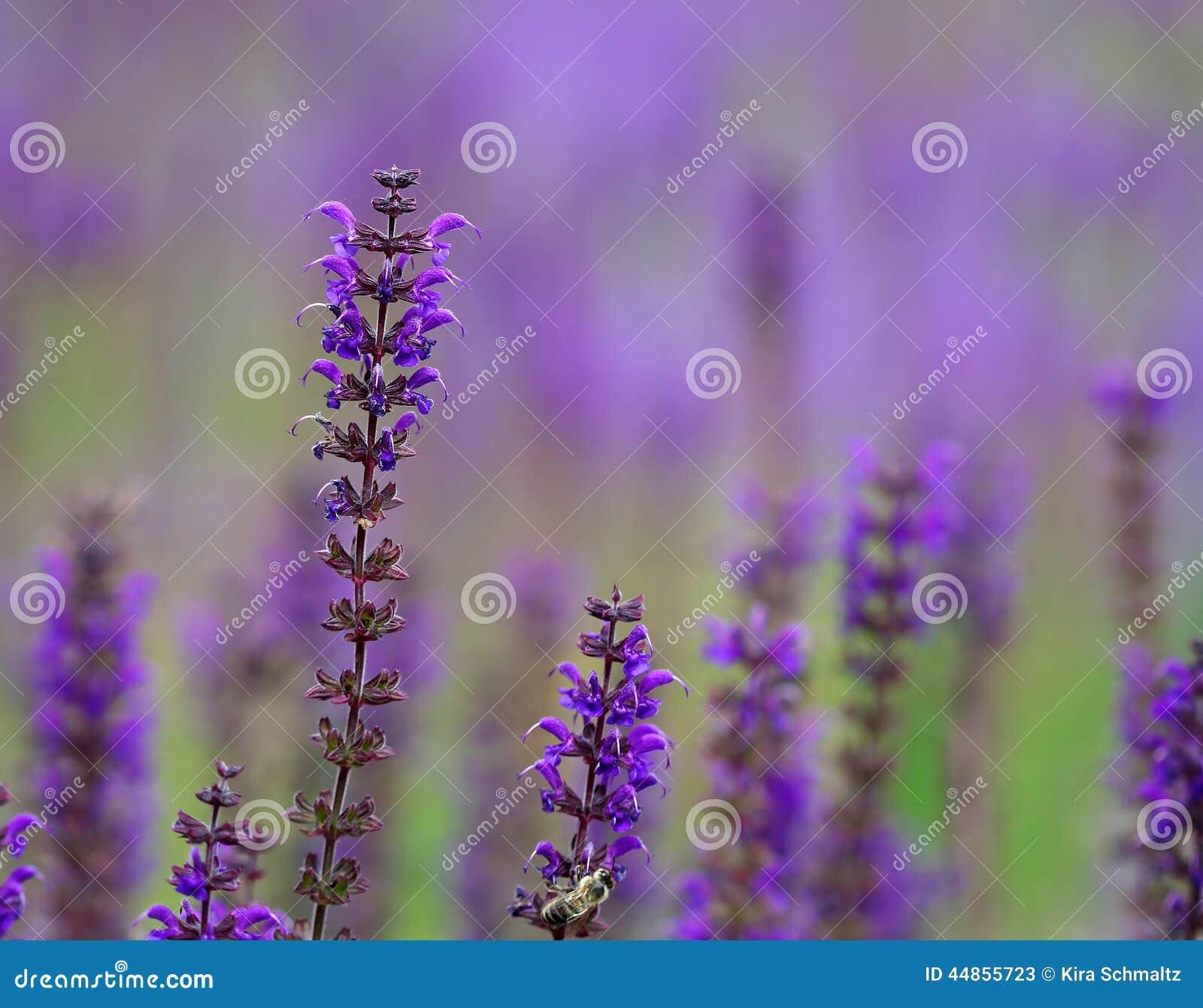 Flores púrpuras brillantes de la lavanda en el campo