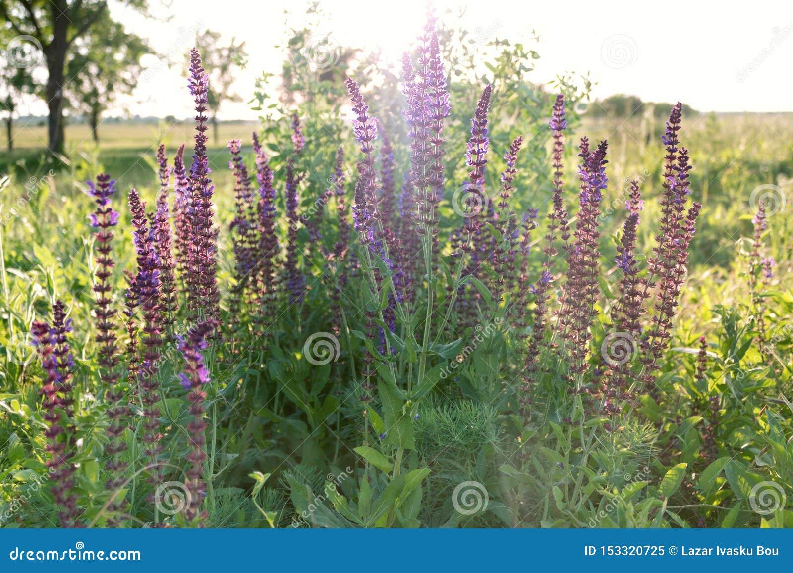 Flores púrpuras de la pizca soleada hermosa del medow