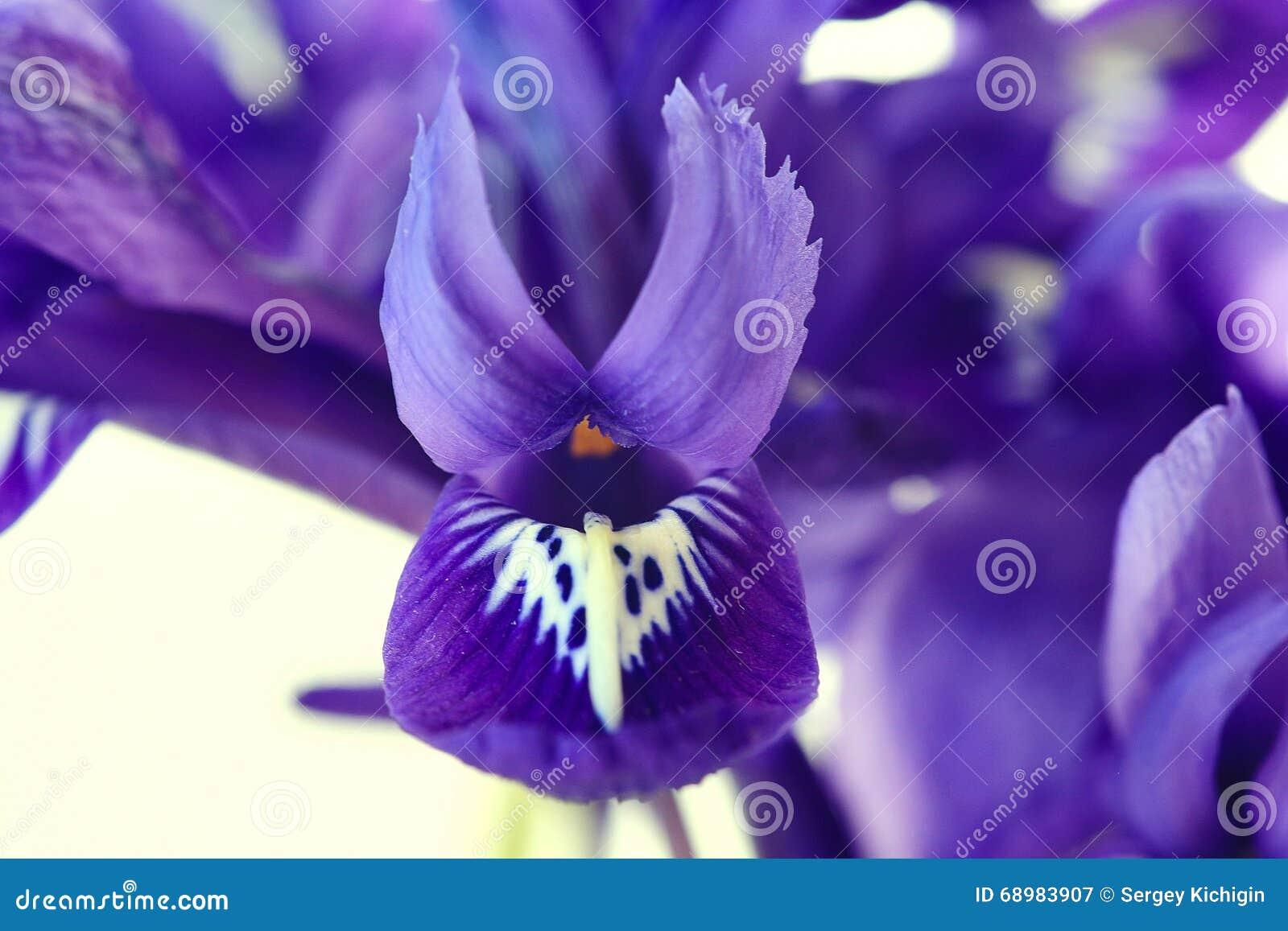 Flores púrpuras de la primavera