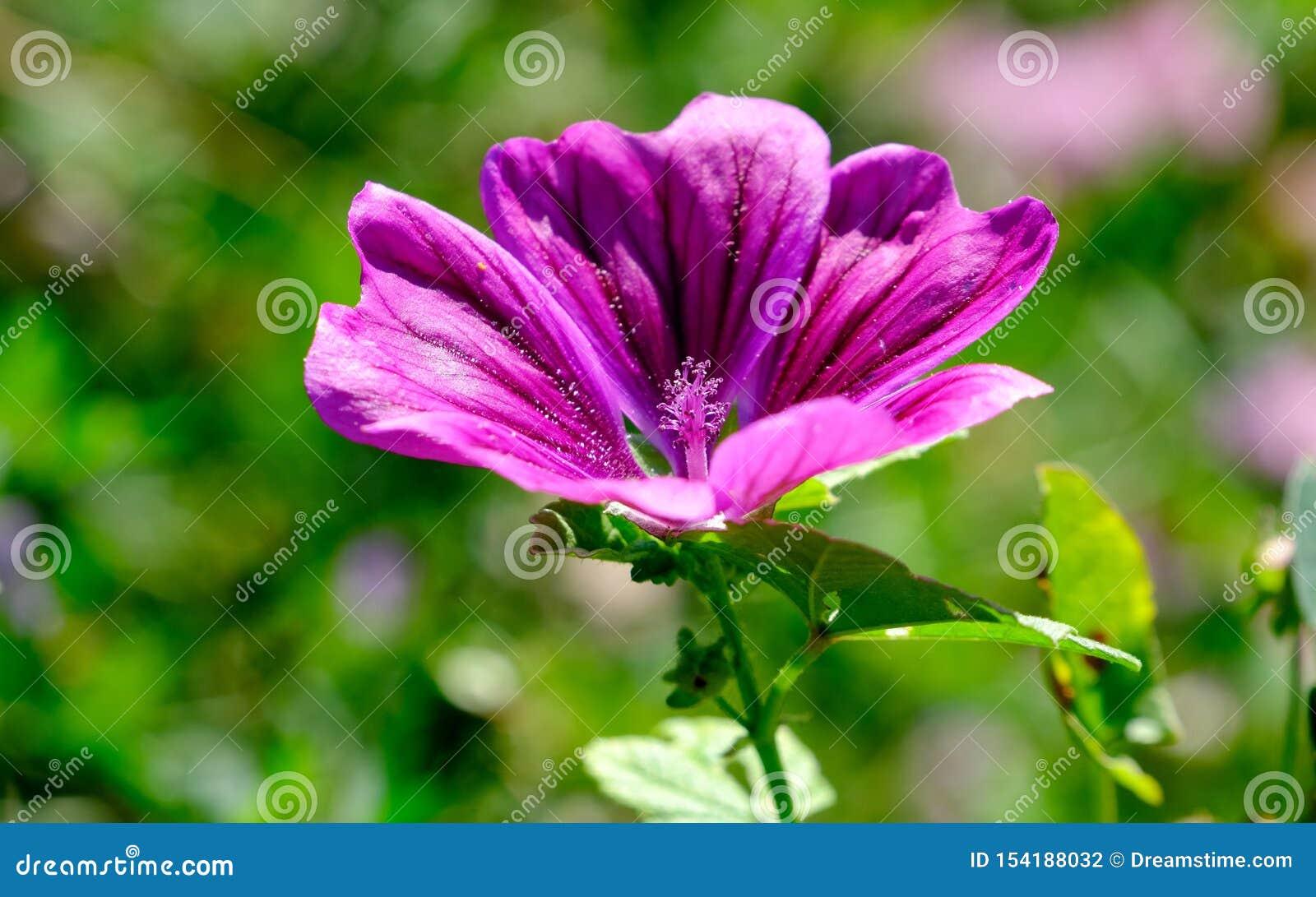 Flores púrpuras del cierre salvaje de la malva para arriba