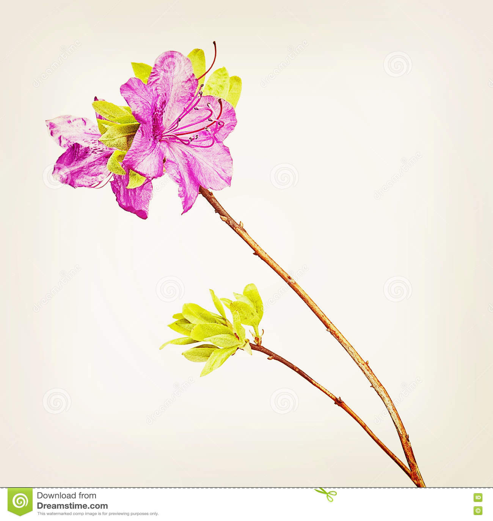 Flores púrpuras del rododendro en rama