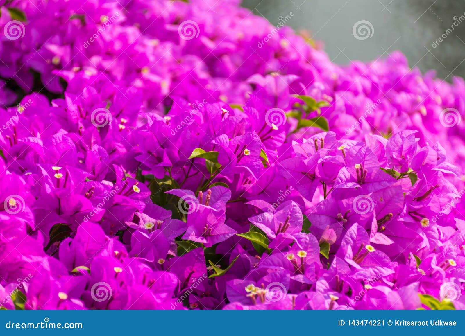 Flores púrpuras hermosas de la buganvilla en un parque público