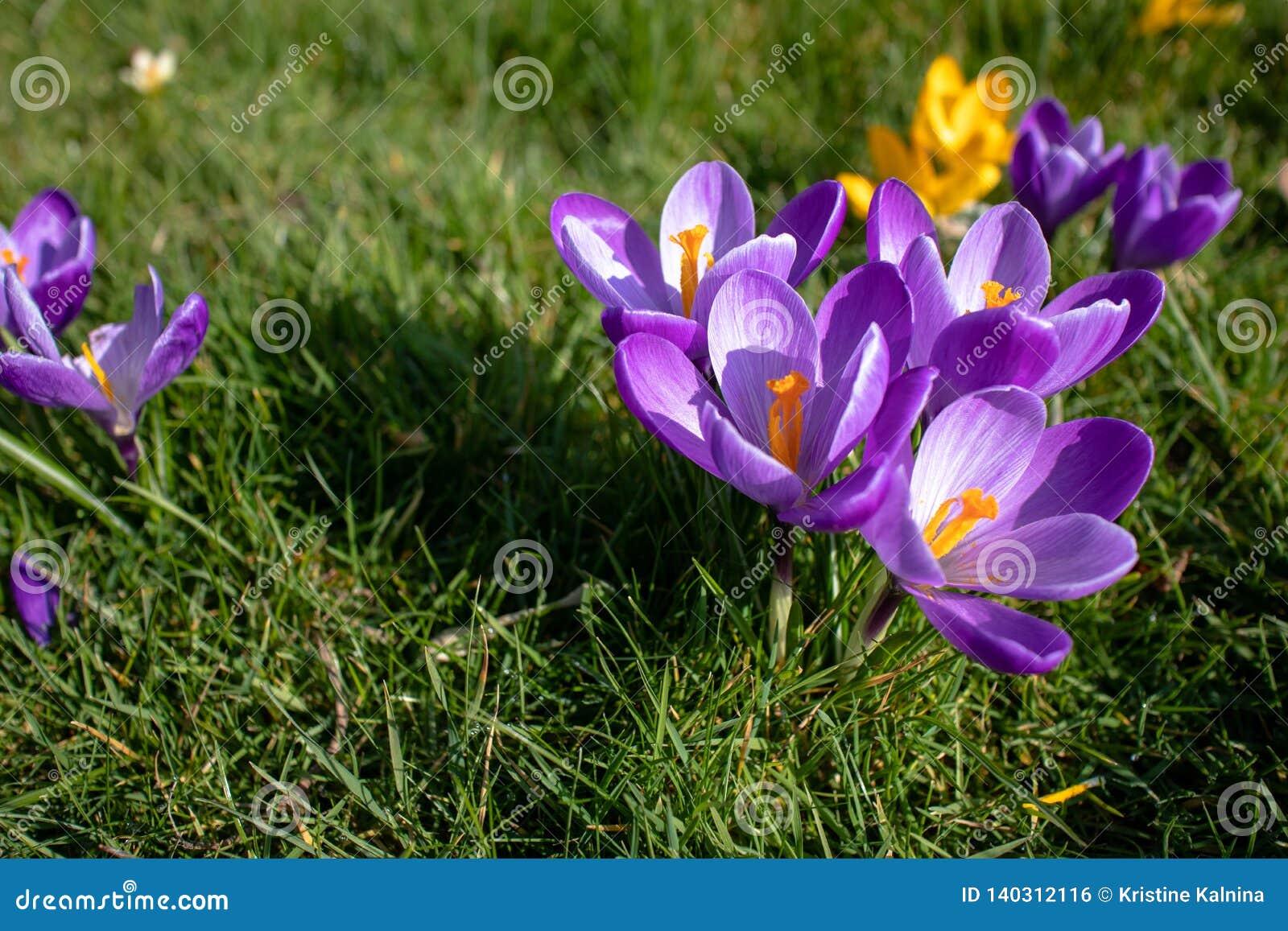 Flores púrpuras y amarillas del azafrán en la floración en ángulo