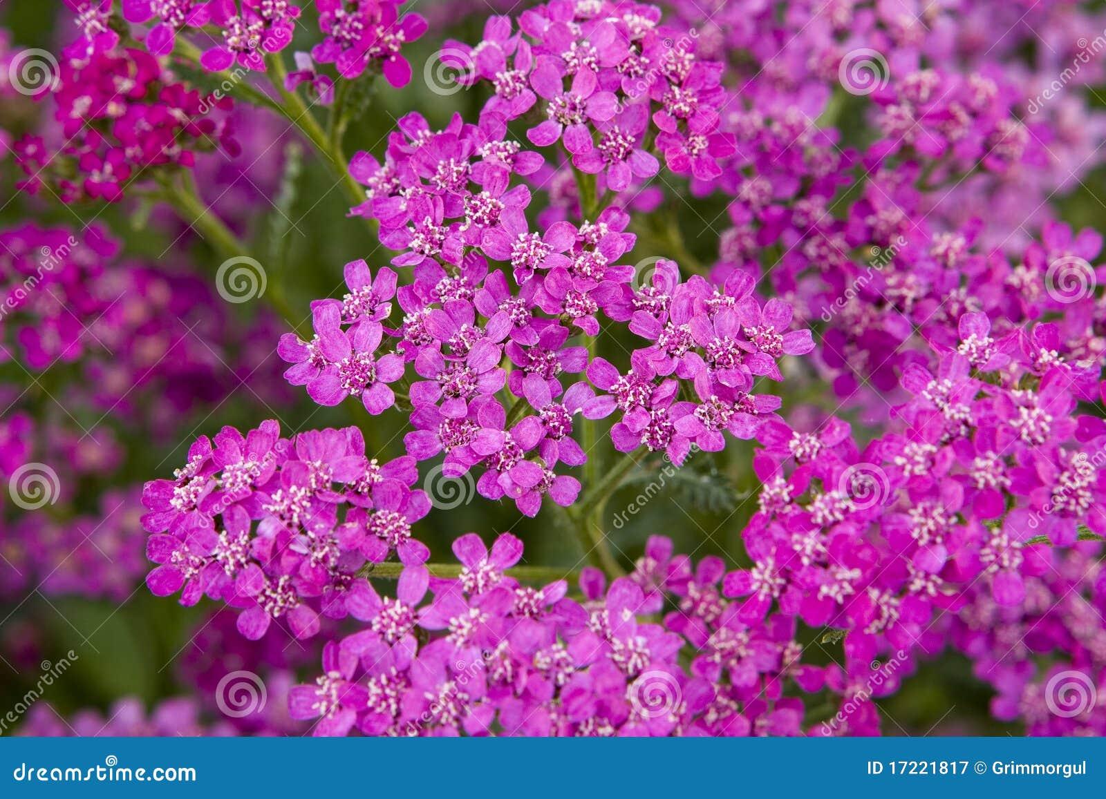 Flores Pequenas Cor-de-rosa Imagem De Stock