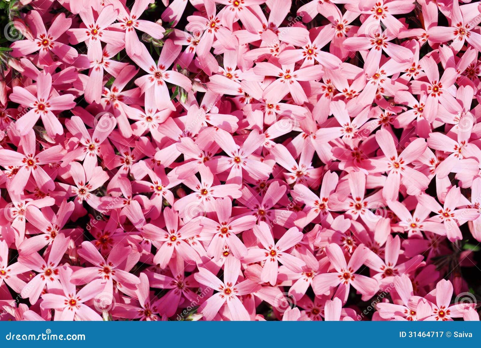 padrão sem emenda de flores bonitas, corderosa, subulata do flox