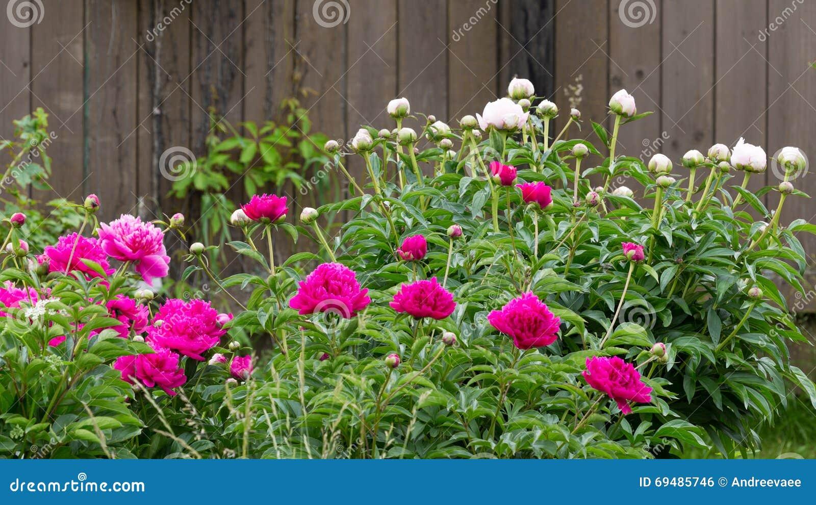flores em meu jardim crio rosas cheirosas cheirosas bem perfum ada s
