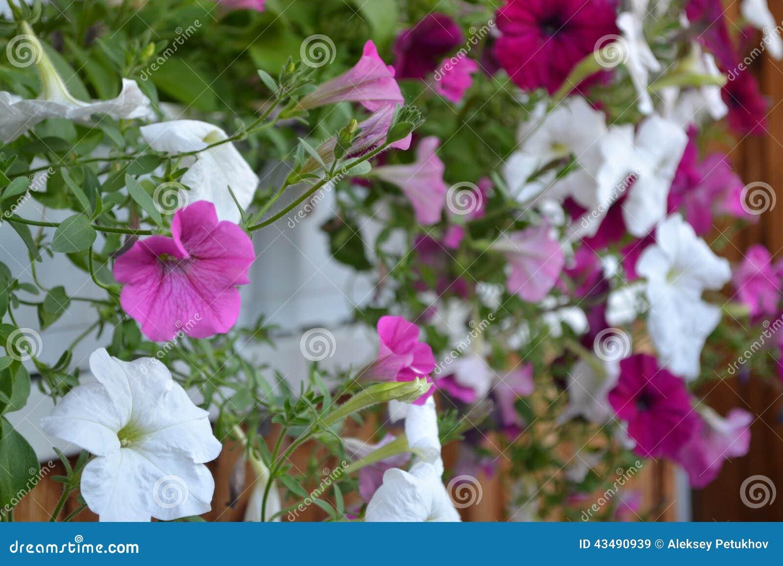 Flores, petúnia, flora, estação, decoração