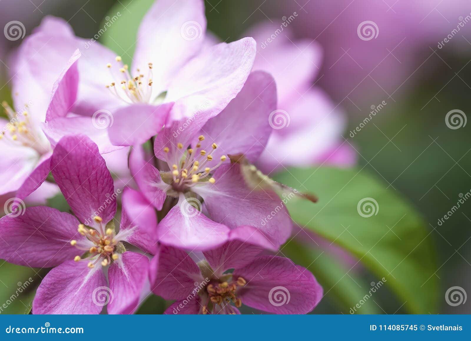 Flores pintorescas brillantes de la primavera de la manzana, primer de la cereza Rama de Sakura rosado, árbol floreciente de la p