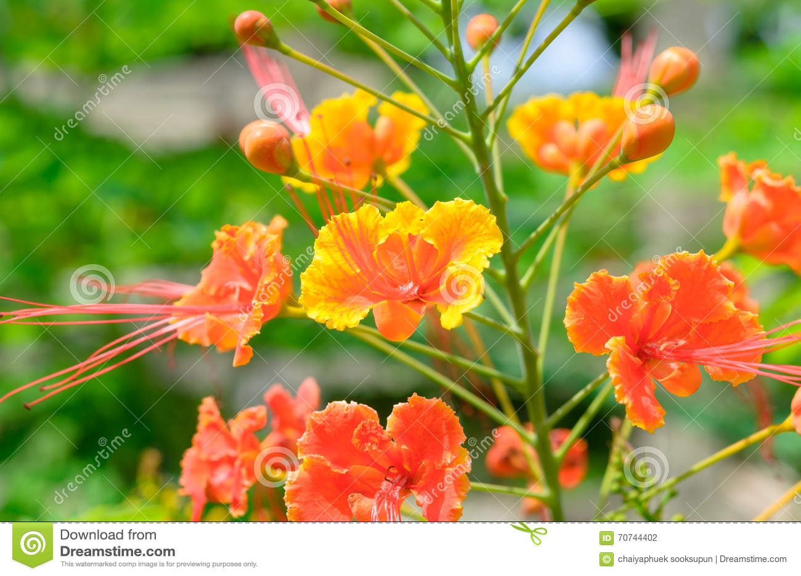 flores preciosas lindas de la cresta del pavo real foto de archivo