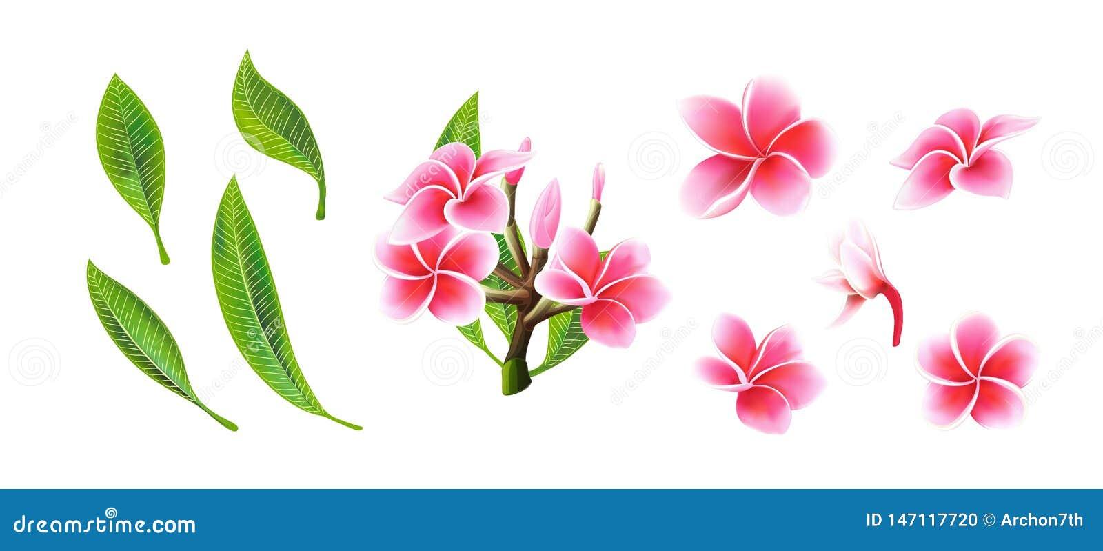 Flores, ramos tropicais e folhas do plumeria do rosa do vetor ajustados para o cart?o floral