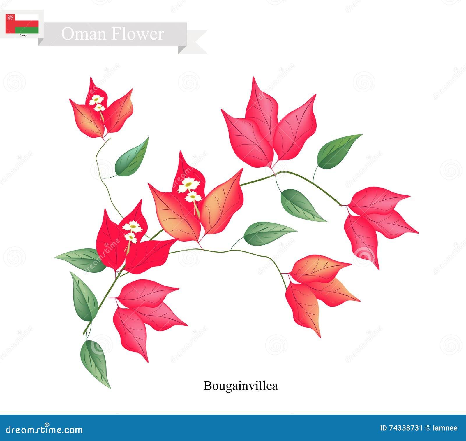 Flores rojas de la buganvilla, la flor nativa de Omán