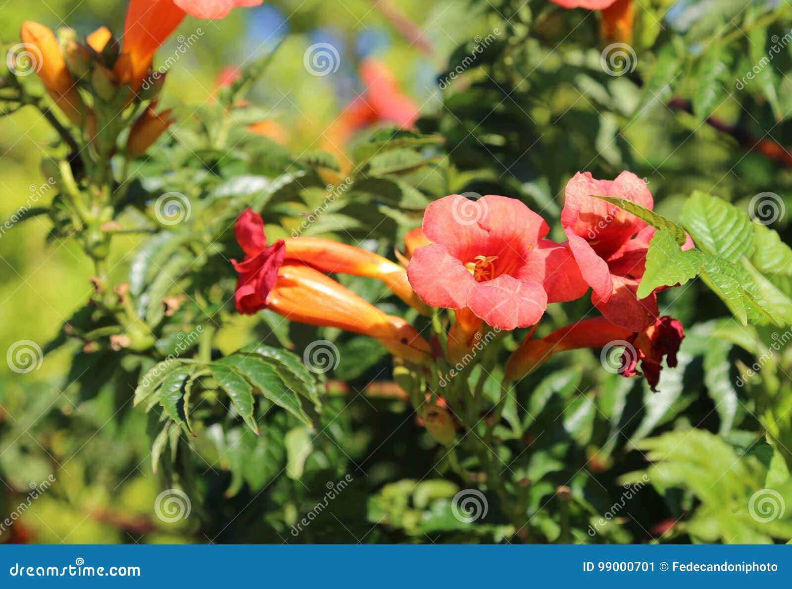 Flores rojas de la granada en verano