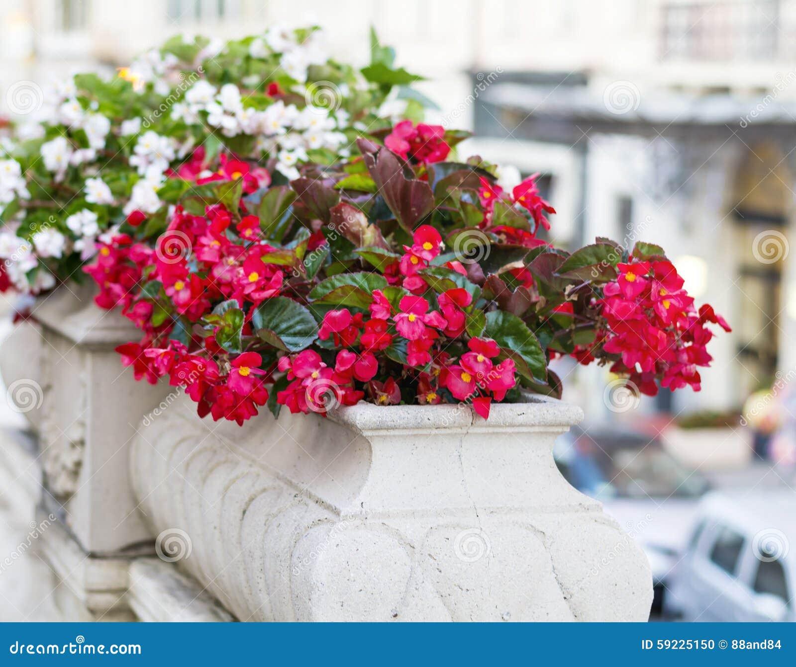Download Flores Rojas Del Pote En La Calle Foto de archivo - Imagen de arriate, colorido: 59225150