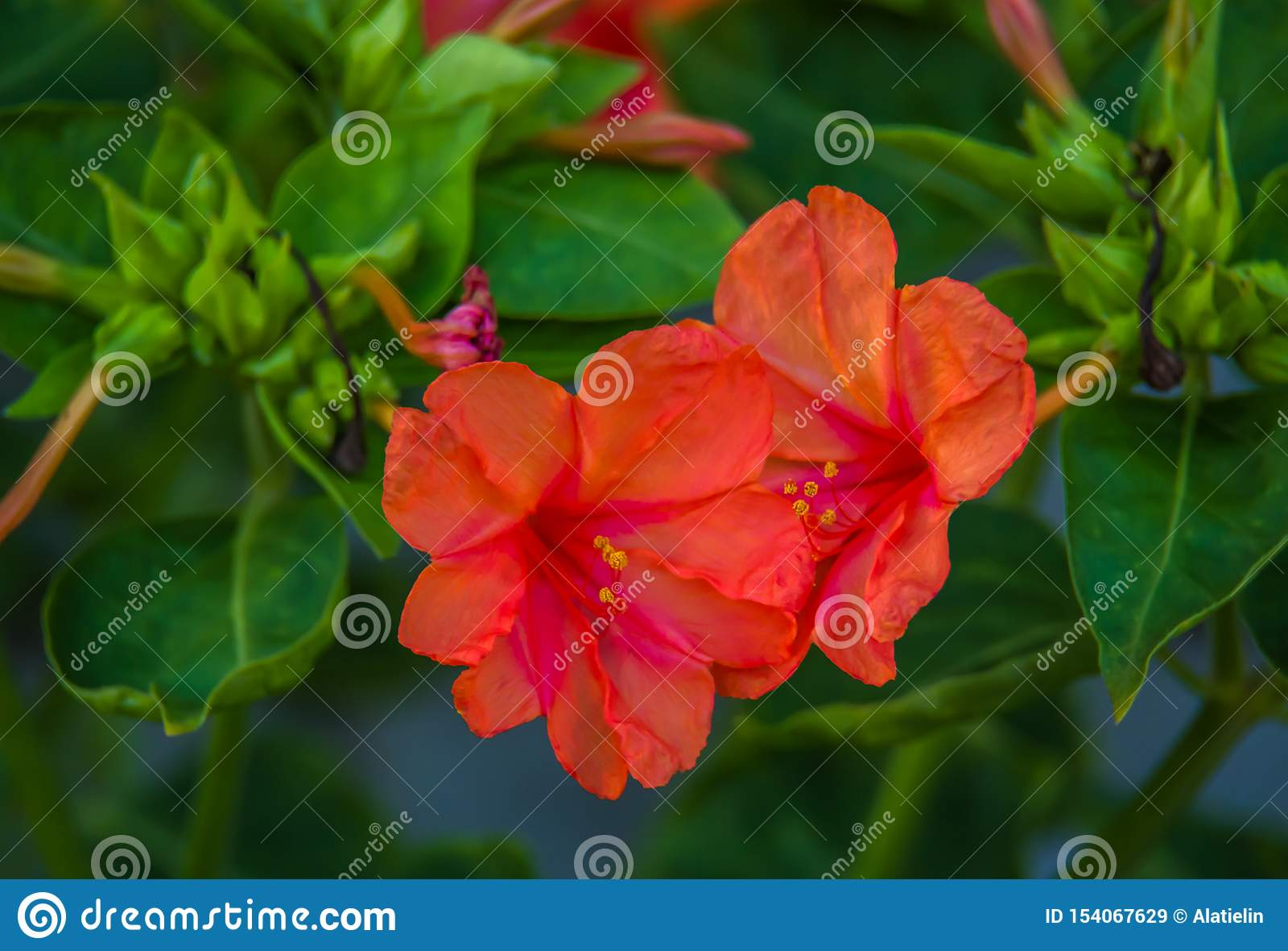 Flores rojas fragantes Flores del jard?n del verano Mirabilis rojo de la flor