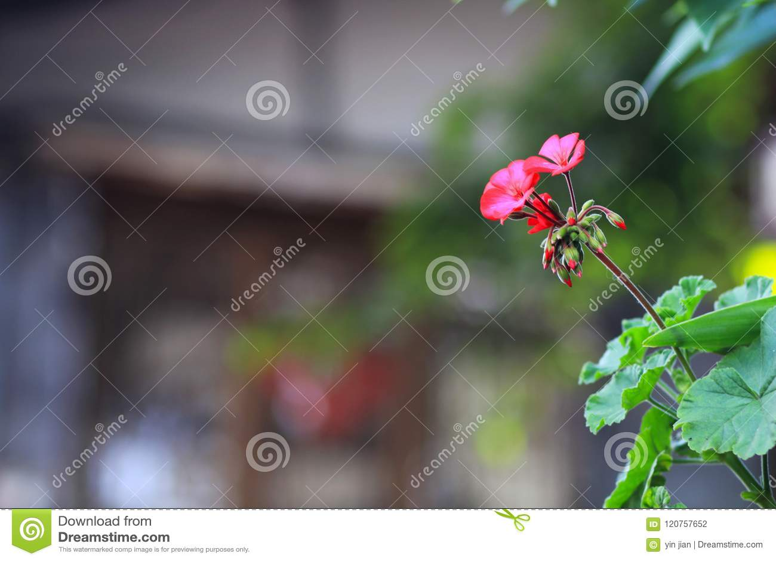Flores rojas hermosas en la ciudad acient