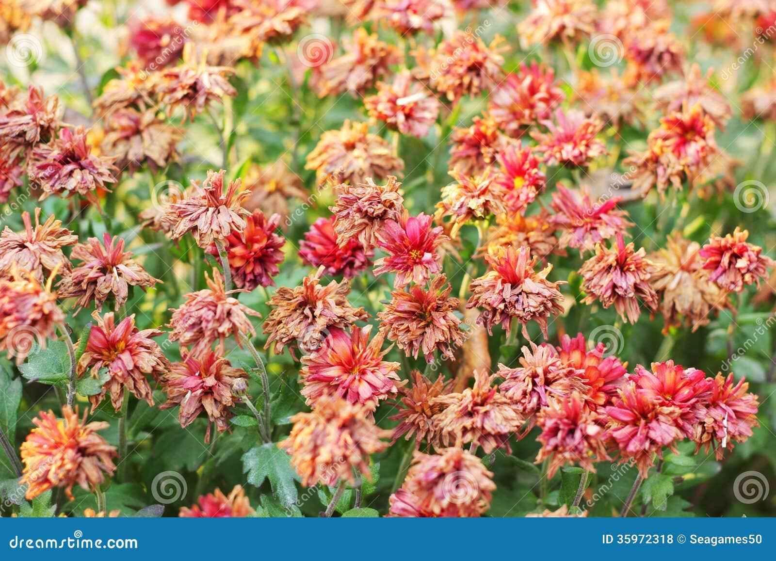 Flores rojas marchitadas en la primavera.