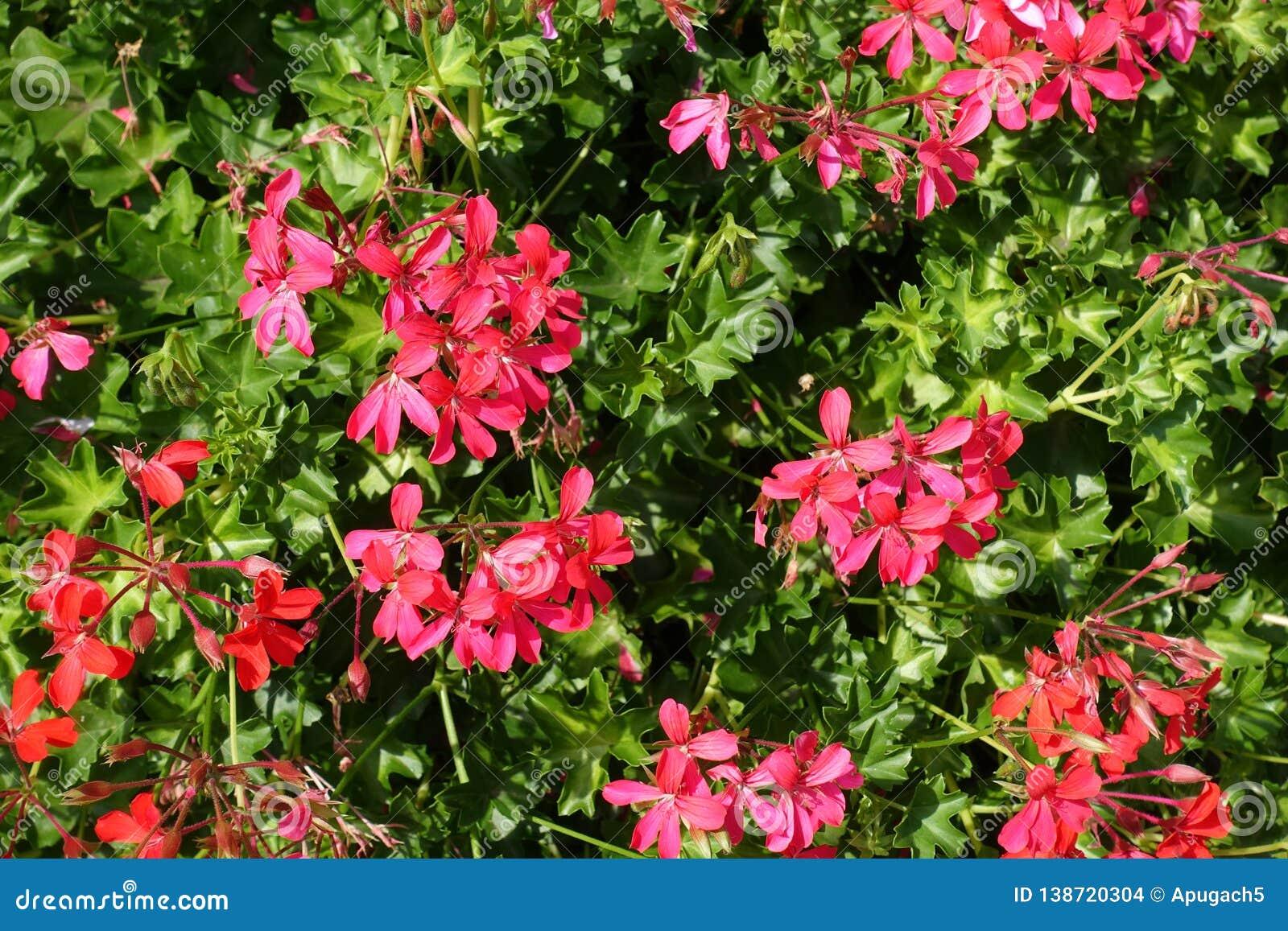 Flores rojas rosáceas simples del geranio hiedra-con hojas