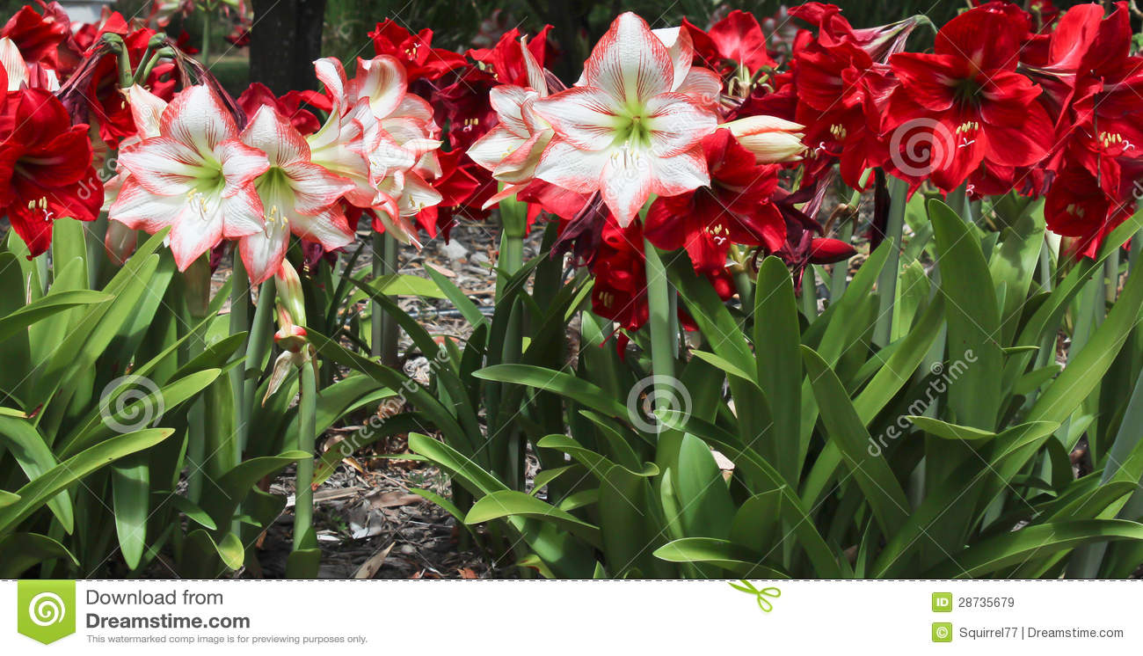 Flores Rojas Y Blancas Del Hippeastrum Imagen De Archivo Imagen De