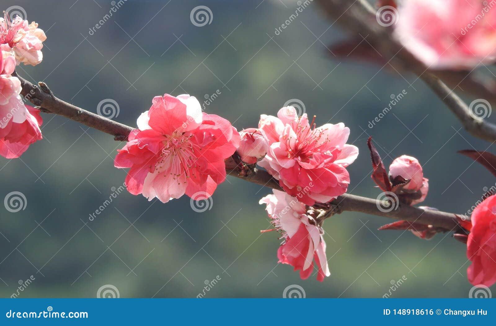 Flores rojos del ciruelo de Å Bright del ¼ de Wintersweet ïÂ
