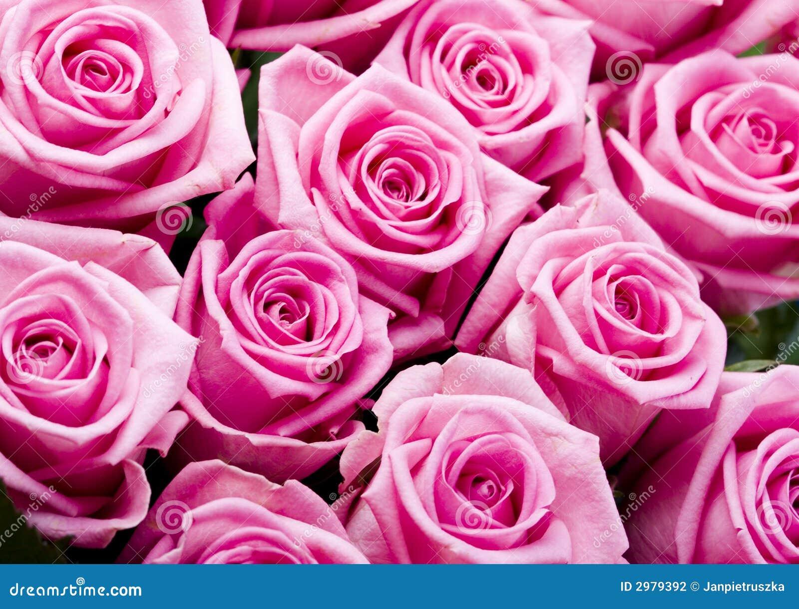 Rosa (Rosa), um tipo da flor que pertence ao levantarcomo a família