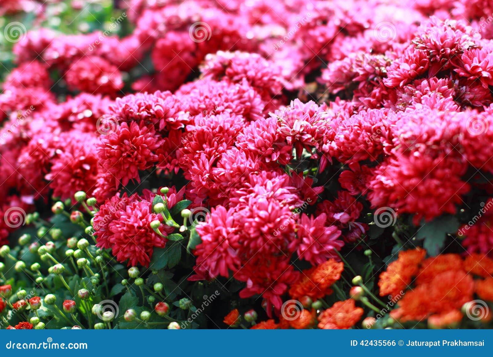 Flores rosadas coloridas