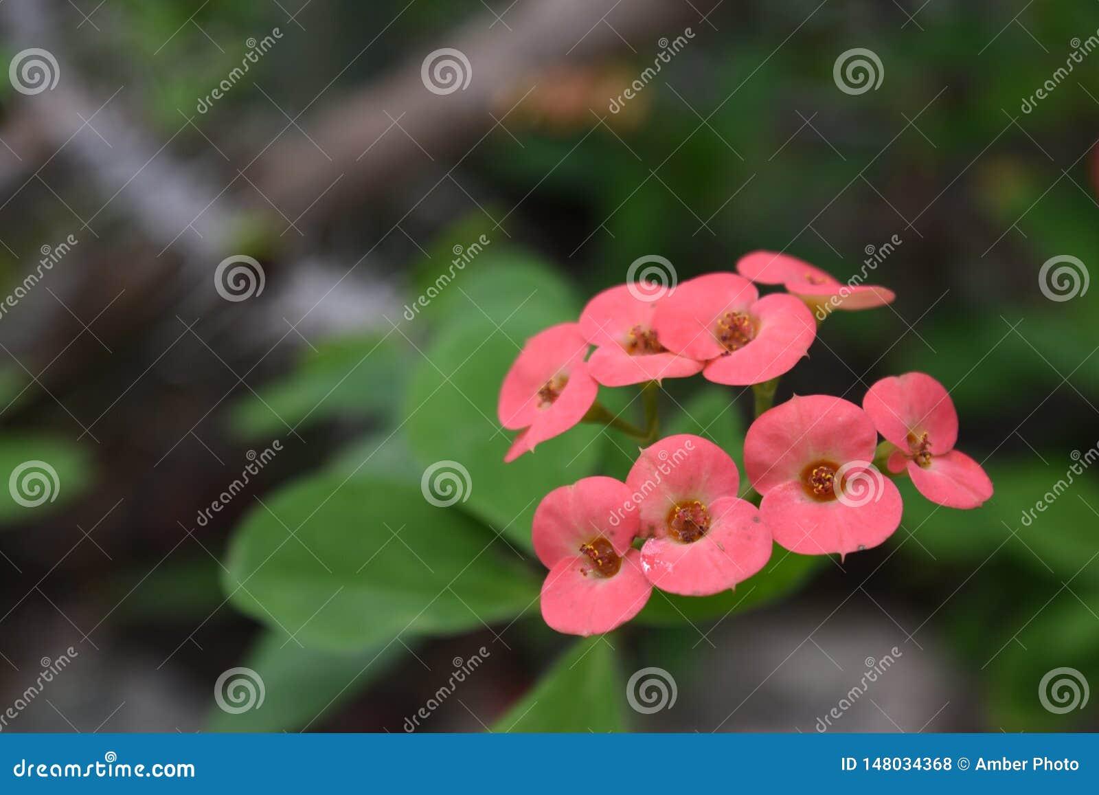 Flores rosadas cremosas del euforbio