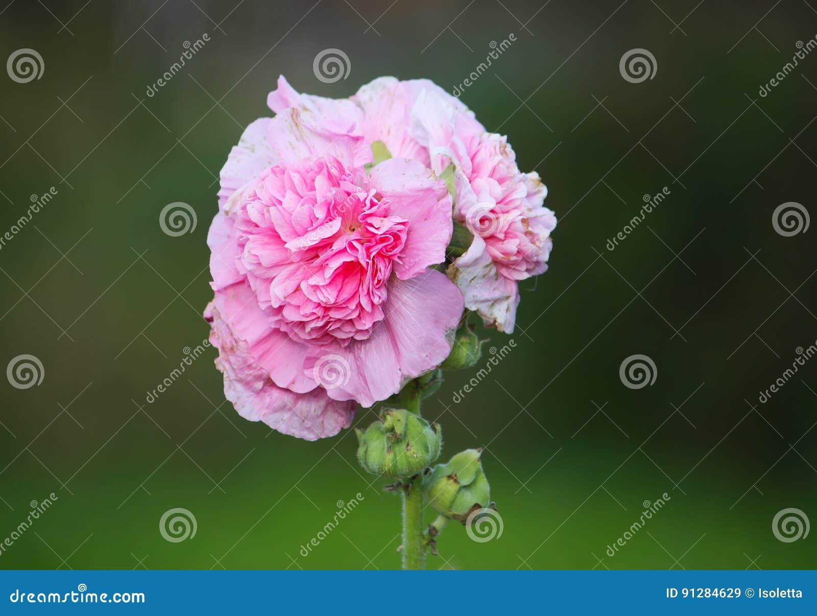 Flores rosadas de la malva