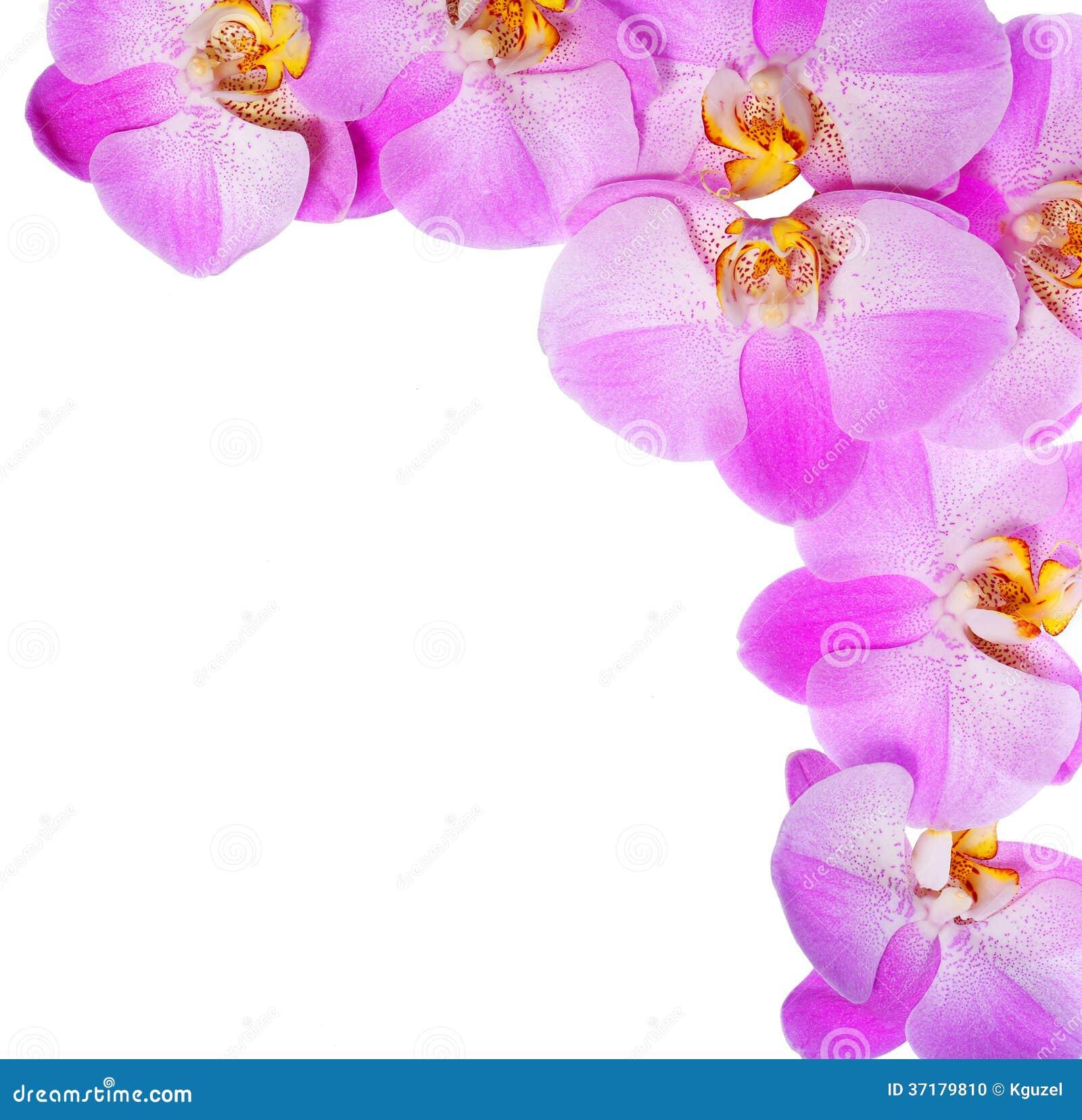 Flores rosadas de la orquídea aisladas en el fondo blanco. Hermoso