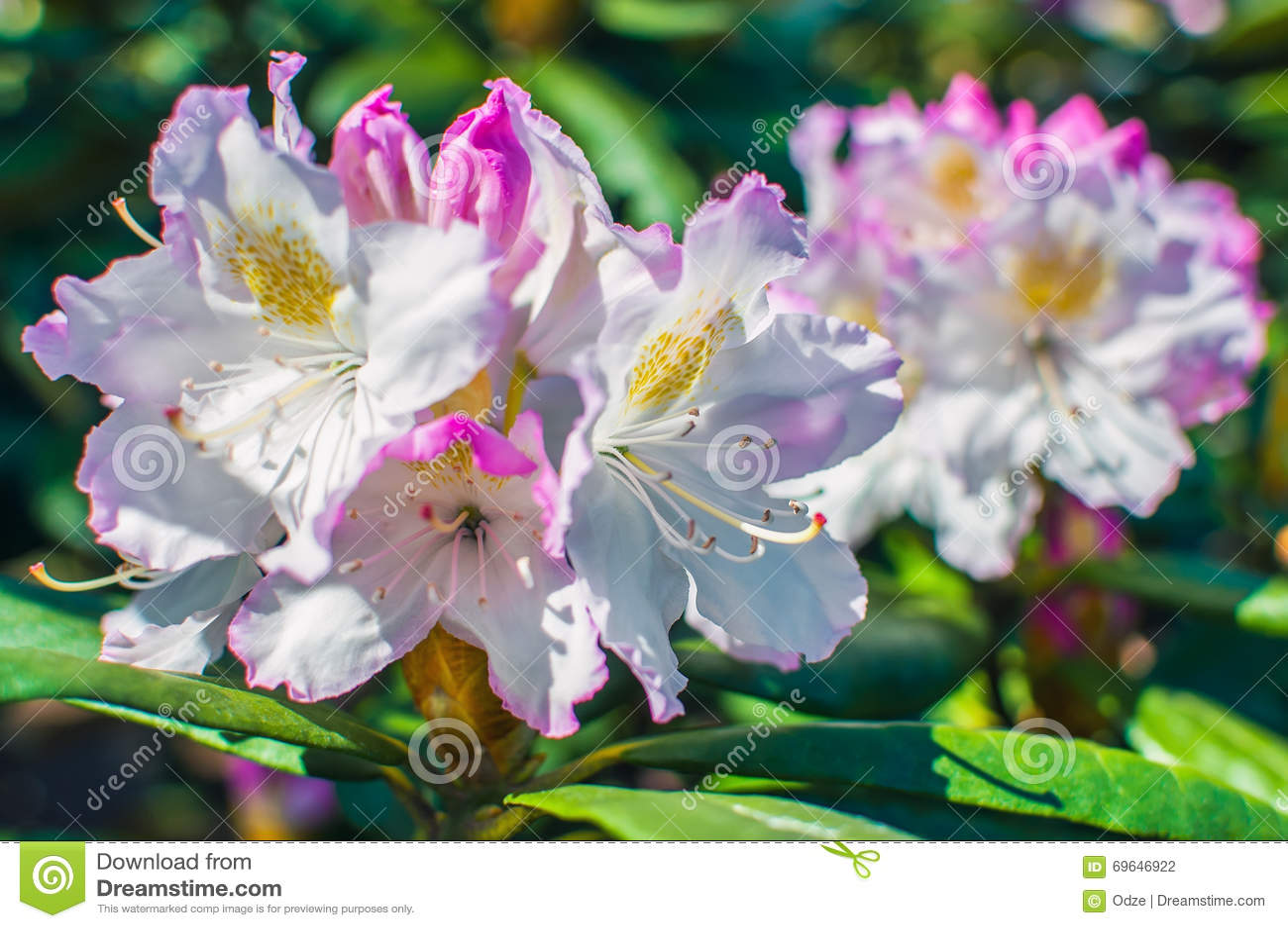 Flores rosadas de un rododendro