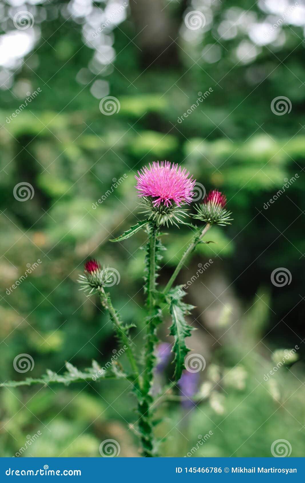 Flores rosadas del cardo de leche en remedio herbario del natur del marianum salvaje del Silybum