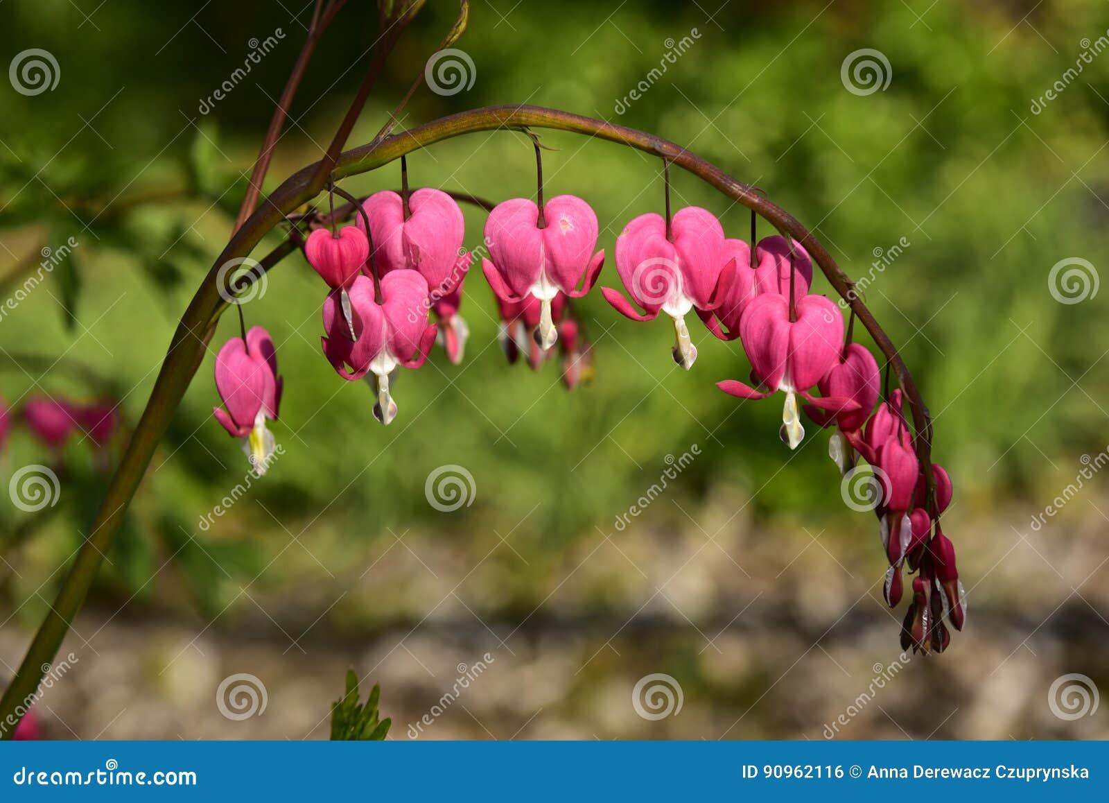 Flores rosadas del corazón