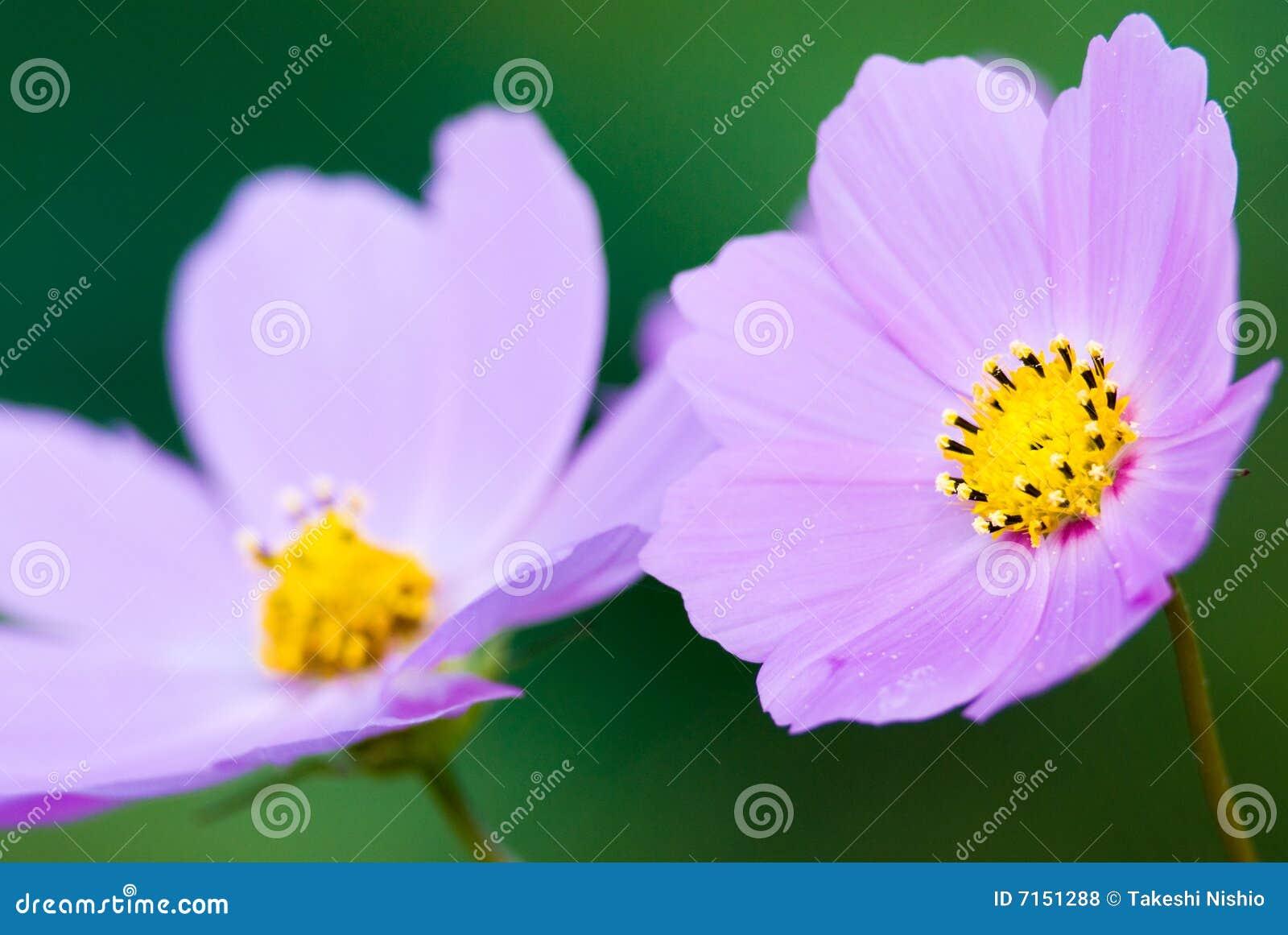 Flores rosadas del cosmos, primer
