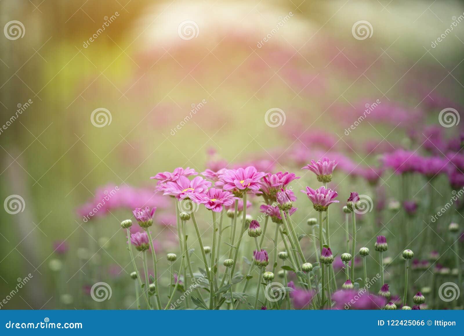 Flores rosadas del crisantemo